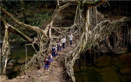 INDIJA medžių šaknų tiltas